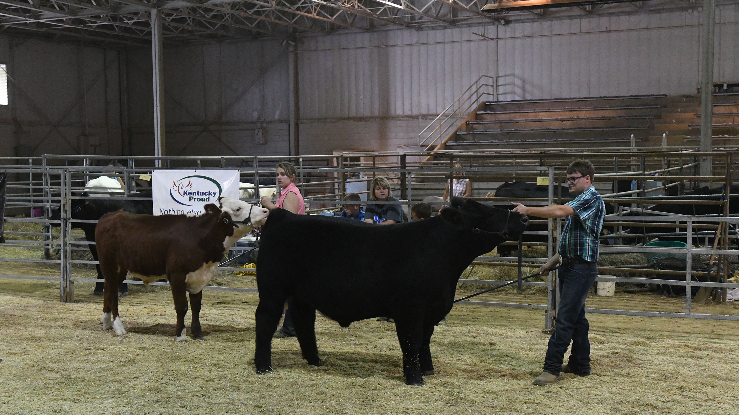 Agriculture students showing cattle at a livestock show.